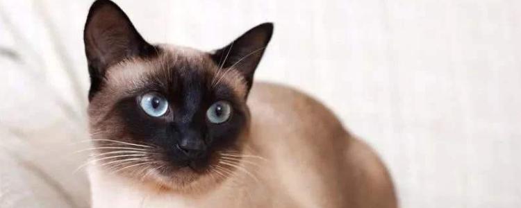 暹罗猫认识主人吗 你发出的声音就是猫咪判断的重要条件!
