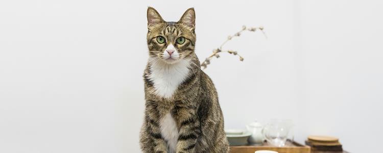 英短猫的优缺点 爱它,就要爱它的一切哦!
