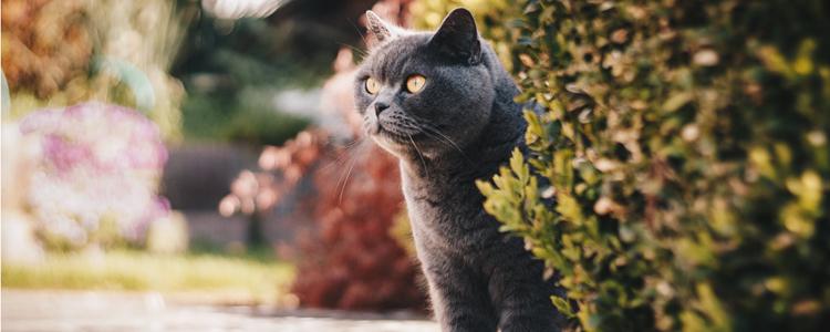 英国短毛猫发情期在几月份 了解猫的发情周期-轻博客