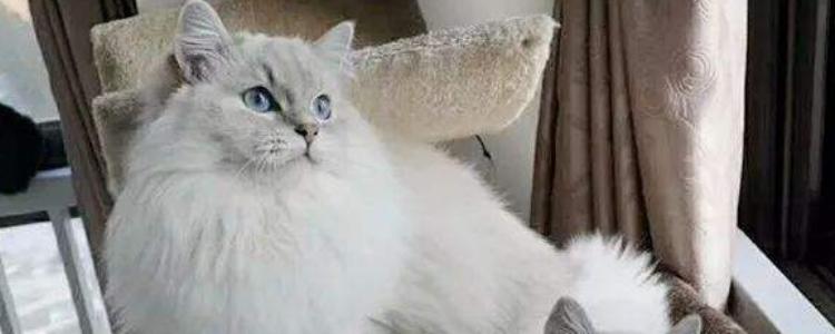 布偶猫发情会持续多久 可以人工干预终止吗?