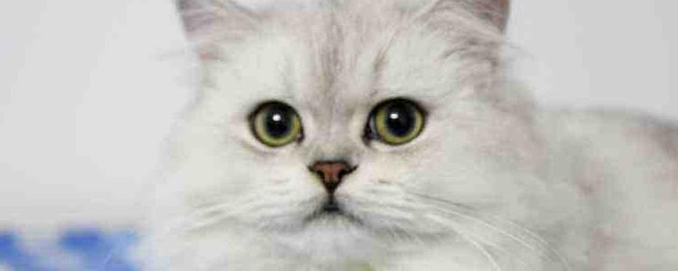 波斯猫哪个国家的品种? 波斯猫的起源故事