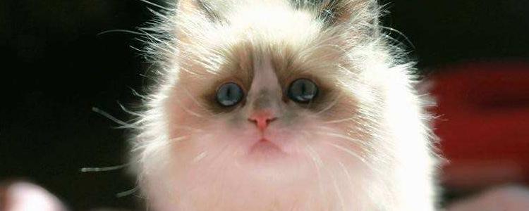 布偶猫怀孕多少天生产 千万要谨防难产现象!