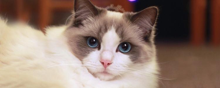 布偶猫开脸是什么意思 什么样子最好?