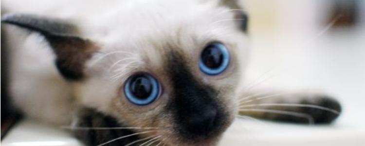暹罗猫为什么这么臭 铲屎官的名字就是这么来的!