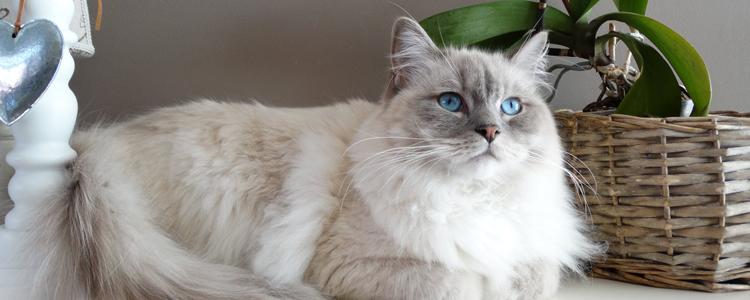 布偶猫哪个国家的 仙女猫原来也是杂交的?