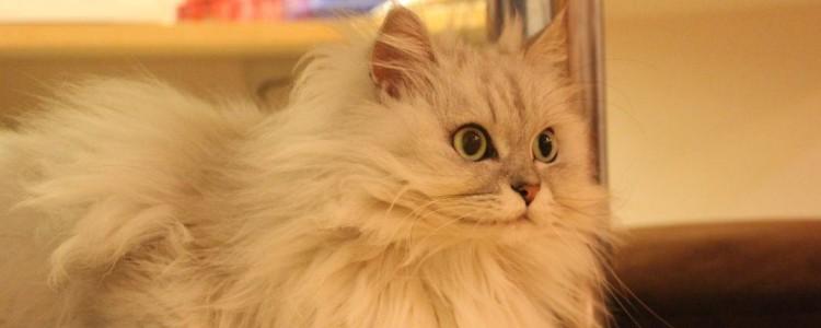 猫咪可以吃生鸡胸肉吗 寄生虫太多了!