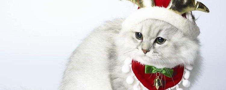 布偶猫是什么猫杂交的 你知道仙女猫是怎么来的吗