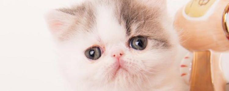 布偶猫颜色种类 其中一种见过就很幸运了!