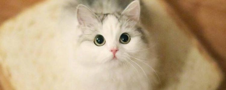 布偶猫性格优点缺点 爱它就要包容缺点!