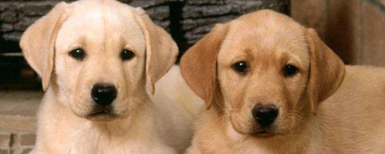 金毛发情期是几月 狗狗发情期分为什么阶段
