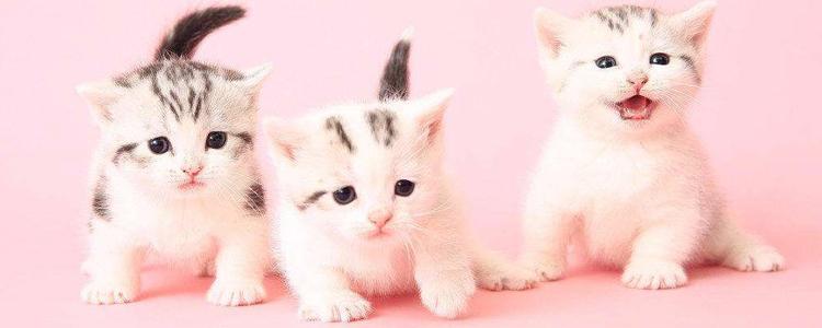 小猫多久断奶吃猫粮 断奶后可不能直接喂猫粮!