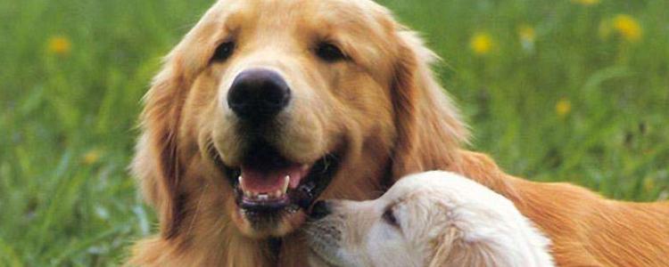 博美犬生产需要注意事项 这些你知道吗