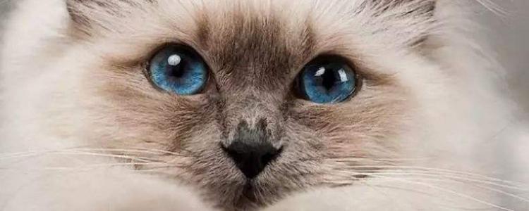 波斯猫是哪个国家的品种 它的起源你知道吗