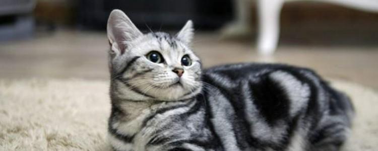 猫咪头小身子大怎么办 少喂食点猫粮吧,吃的太多了!