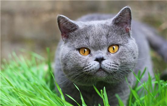 缅因猫做绝育的最佳时期 这个时间一定不要错过!