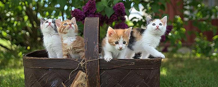 猫会吃自己的孩子吗 是残忍吗?