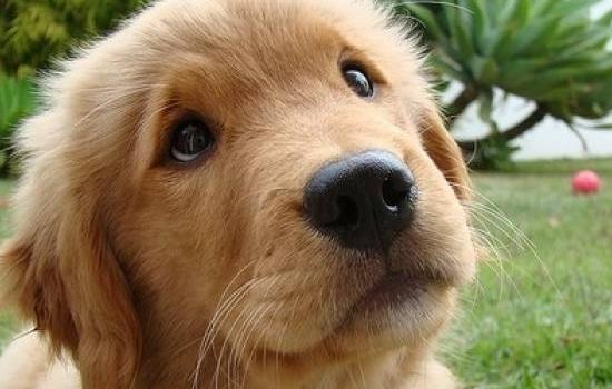 博美犬爱叫怎么办? 博美犬爱叫怎么训练