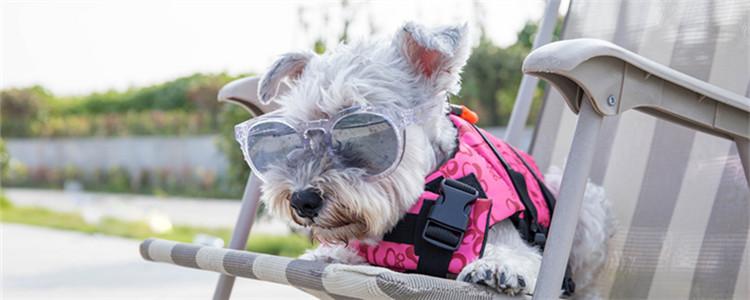 雪納瑞發情了什么癥狀 發情階段主人一定要看好狗狗!