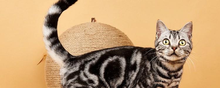 猫咪天生尾巴扭结 这种情况是比较少见的!