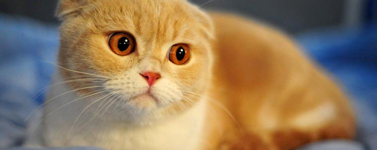 折耳猫怎么培育出来的 知道后你就会发现人类有多残忍!