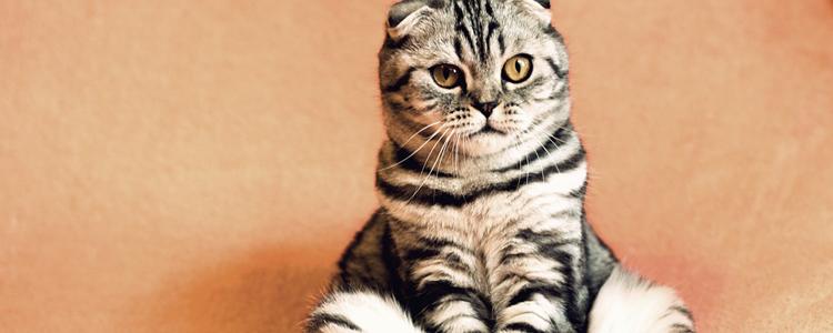 折耳猫坐着就是发病吗 可爱的坐姿后竟是剧痛!