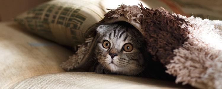 折耳猫吐了怎么回事 那都是主人的锅!