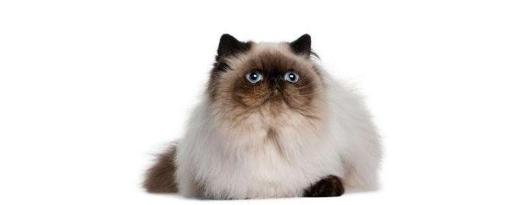 波斯猫的眼睛是什么颜色 鸳鸯眼的猫还有遗传病?