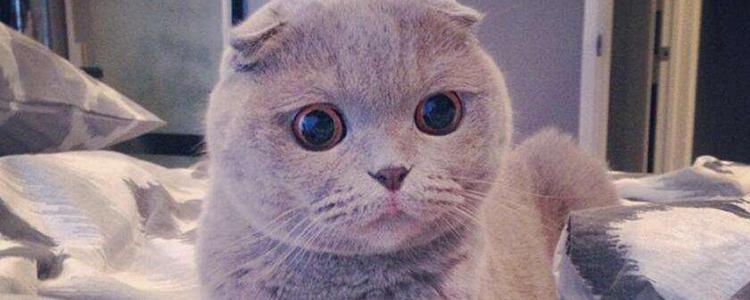 折耳猫寿命有多长 多大发病?