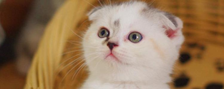 波斯猫眼睛为什么颜色不一样