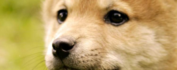 狗狗腹膜炎怎么治疗 腹膜炎可不是小病!不能拖!