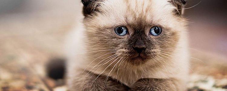 折耳猫平均寿命有多长 多大会发病?