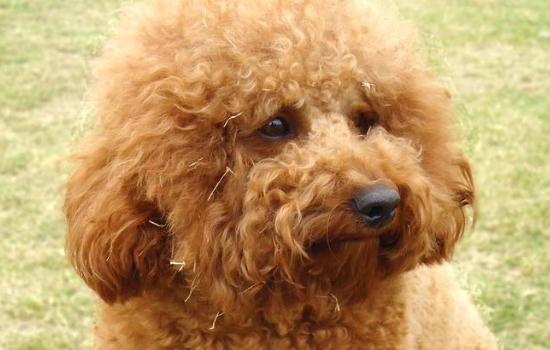 狗狗低血糖怎么办 幼犬和母犬都需要注意哦!