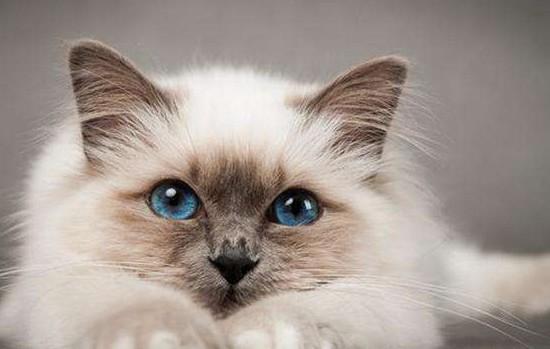 适合家养的猫咪品种 这些品种的猫咪你可以多看看!