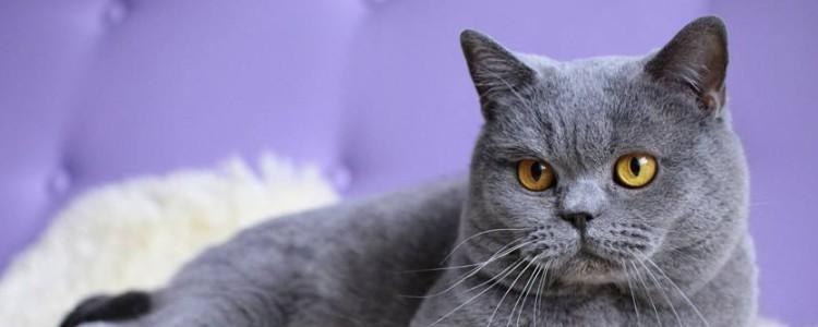 英国短毛猫有多少种颜色 五种常见的颜色你见过几种?