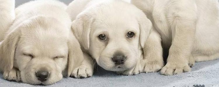 狗狗产后护理注意事项 这些主人都必学!
