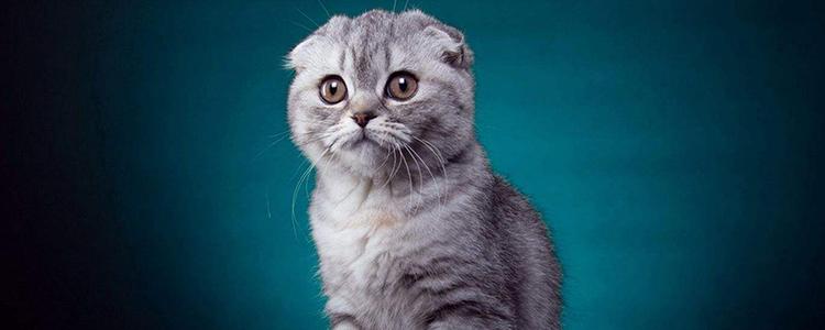 """折耳猫咪发病症状 都藏在""""可爱""""的背后-轻博客"""