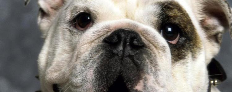 狗狗蛔虫症状有哪些 狗狗寄生虫要小心!