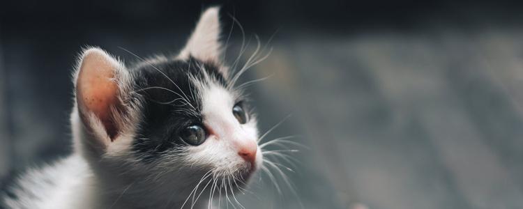 猫咪会感染新型冠状病毒肺炎吗 如何有效预防