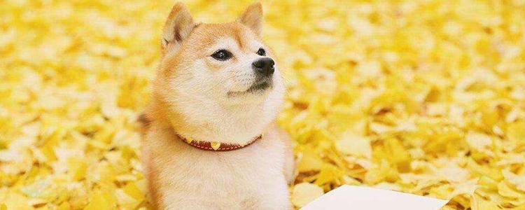秋田犬怕冷吗 冬季要注意适当保暖