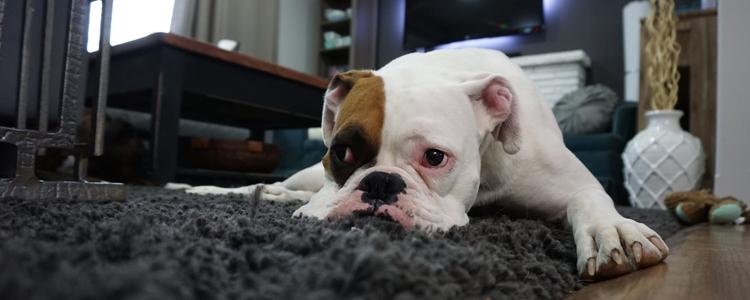狗狗拉稀后有几滴鲜血 科学喂养不是矫情