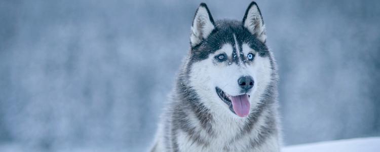哈士奇为什么不能成为警犬 不是因为智商-轻博客