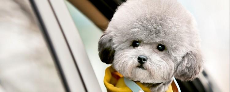 贵宾犬容易得什么病呀 什么疾病贵宾容易患