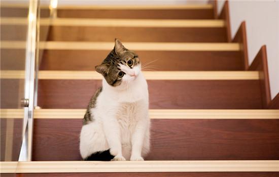英短蓝猫为什么不爱叫 英短蓝猫为什么老不会猫猫叫