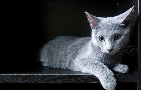 英短猫为什么爱睡觉 英短猫为什么这么能睡
