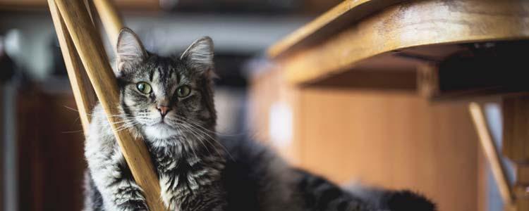 小猫肚子鼓鼓的还一直吃是怎么回事?