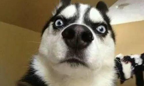 狗狗智商排名前100名  这些狗狗你都听说过吗