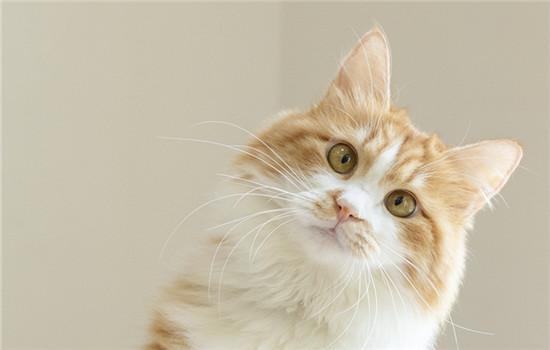 橘猫为什么不胖脸 要帮助橘猫调理肠胃