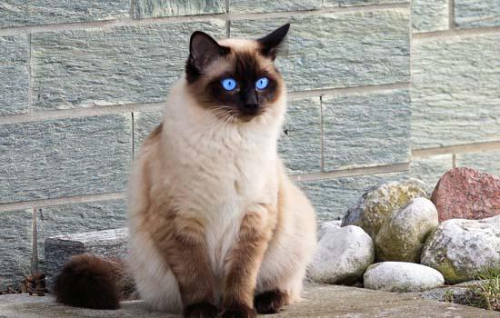 暹罗猫为什么都流浪了 特立独行的暹罗猫