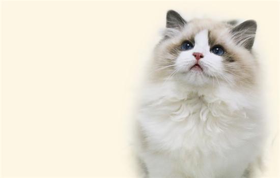 布偶猫的价格为什么那么贵