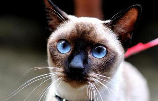 暹罗猫为什么吐了 有可能是毛球症引起